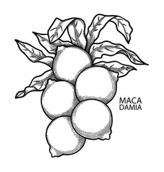 graphic macadamia nuts vector image