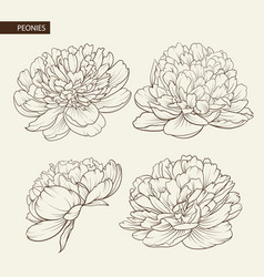 Set of peony flowers elements vector