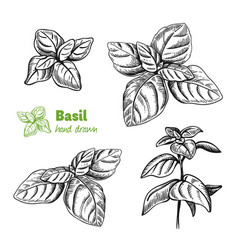 Basil plant and leaves hand drawn vector