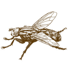 Engraving fly insect vector
