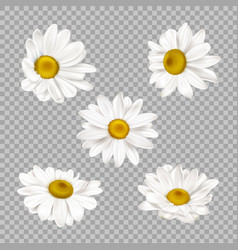 chamomile set realistic camomile flower buds vector image