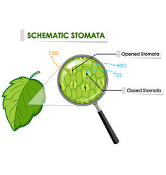 Diagram showing schematic stomata on leaf vector