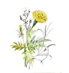 hand drawn watercolor calendula flower vector image