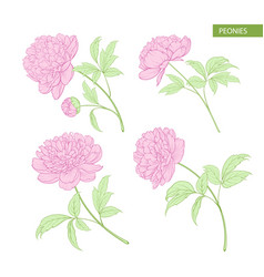 set of peony flowers elements vector image