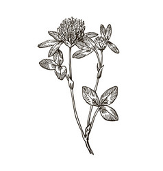 ink clover herbal hand drawn vector image