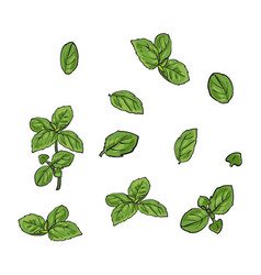 Hand drawn set of basil leaves single and twigs vector