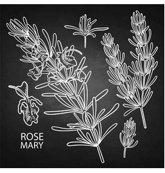 graphic rosemary set vector image