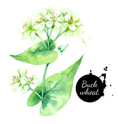 watercolor buckwheat herbs painted isolated vector image