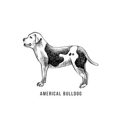american bulldog sketch and lettering in dogs vector image