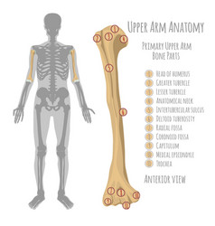 Human upper arm anatomy vector
