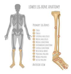 Lower leg bone anatomy vector