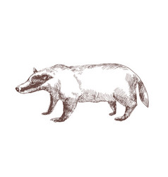 european badger hand drawn with outlines on white vector image