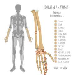 Male forearm bones anatomy vector