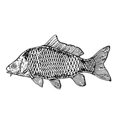 Carp fish engraving style vector