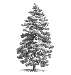 Corsican pine vintage vector