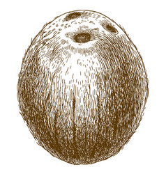 engraving coconut vector image