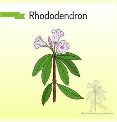 Rhododendron qinghaiense medicinal plant vector