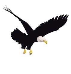 Bald eagle isolated on white background vector image