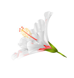white flower tropical plant hibiscus on a white vector image