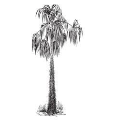 acanthorhiza aculeata vintage vector image