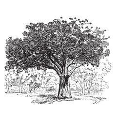 adansonia digitata vintage vector image