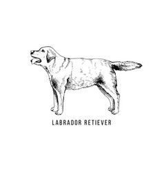 hand drawn labrador retriever vector image