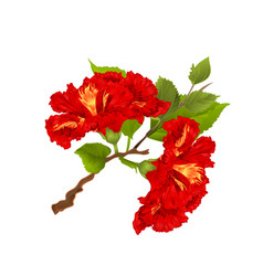 hibiscus red branch tropical flowers vector image
