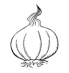 Bulb of garlic vector