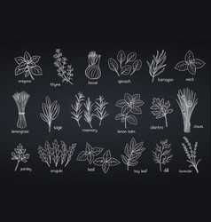 popular culinary herbs vector image