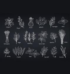 Popular culinary herbs vector
