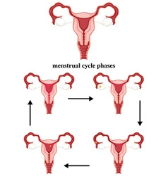Menstrual cycle phases in human vector image vector image