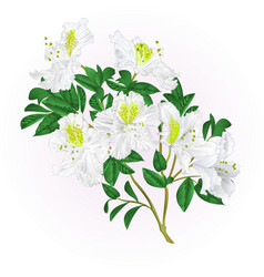 White rhododendron twig with flowers and leaves vector