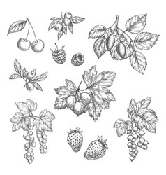 sketch icons of fresh berries and fruits vector image