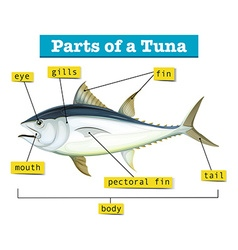 Diagram showing different parts of tuna vector image
