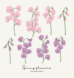 hand drawn sweet pea pink and violet spring vector image