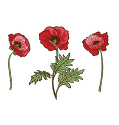 poppy flowers set isolated blooming red poppies vector image