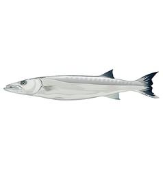 Barracuda - Sphyraena genus vector image
