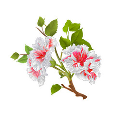 branch white hibiscus tropical flowers vector image