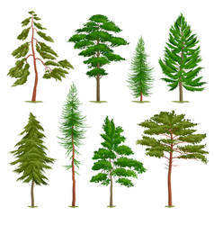 realistic pine trees set vector image