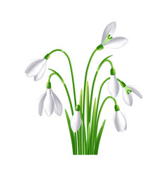 first spring flowers snowdrop on white background vector image