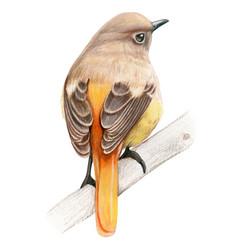daurian redstart hand drawn bird watercolor vector image