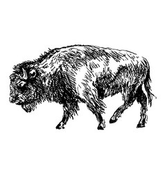 hand sketch bison vector image