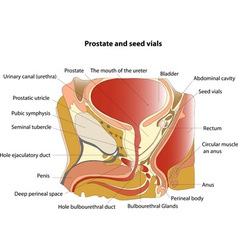 Prostate vector image vector image