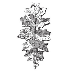 Leaf of akanthos mollis have single big leave vector