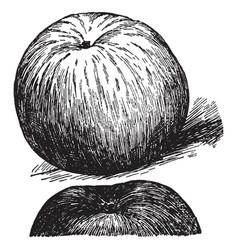 Wealthy apple vintage vector