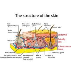 skin vector image vector image