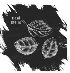 Background sketch basil vector