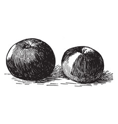 Lady apple vintage vector