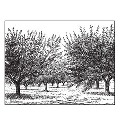 Apple orchard vintage vector