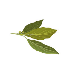 Flat icon of fresh green bay leaves herb vector